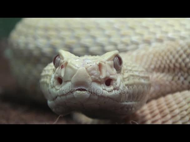 Animal snake video, Rattlesnake close up, reptile
