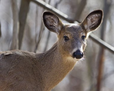 Beautiful isolated portrait of a cute wild deer in the forest