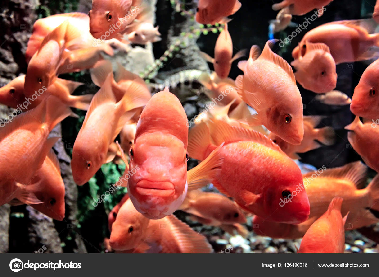 Orange Fish Swimming In A Large Tank Stock Photo