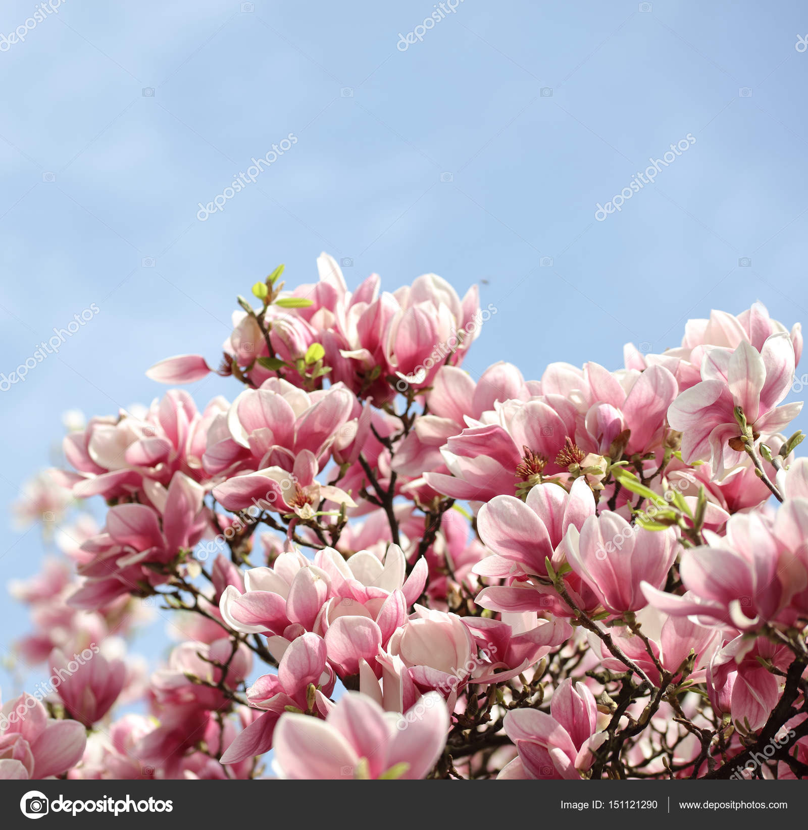 Flores De Flor De Magnolia