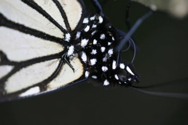 Closeup of monarch butterfly overwintering in a coniferous, mexican forest
