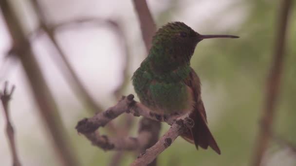 Zelený kolibřík sedí na stromě