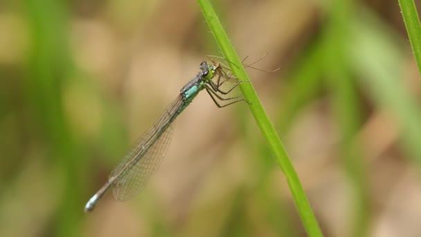 Egyenlő szárnyú szitakötők eszik daddylongleg (Ischnura denticolis)