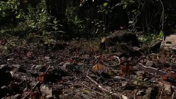 Bellissimo scatto dinamico delle farfalle monarca volano, svolazzanti e svegliarsi