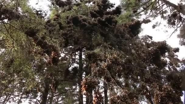 Monarch lesa v Mexiku, pomalé otáčení pánve