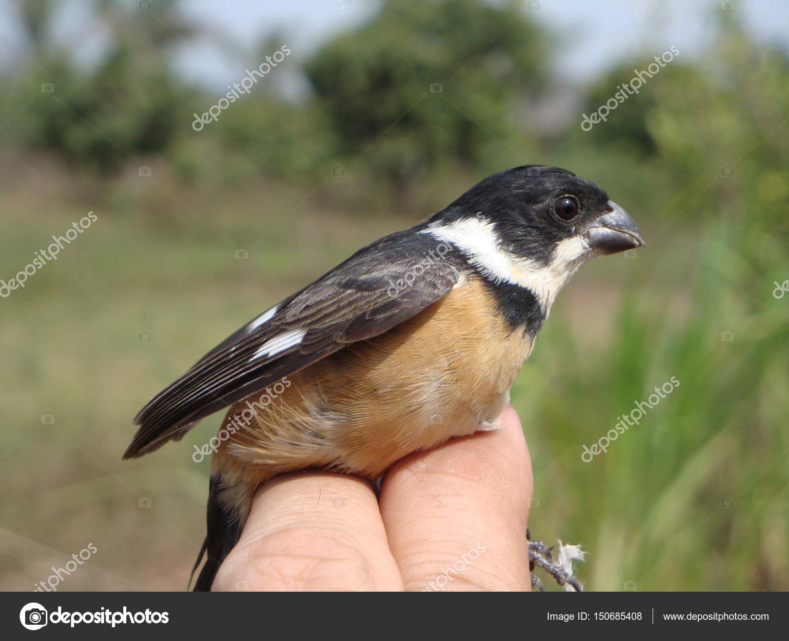 Hermosa Alas De Negro Cuello Blanco Songbird De Chamela México
