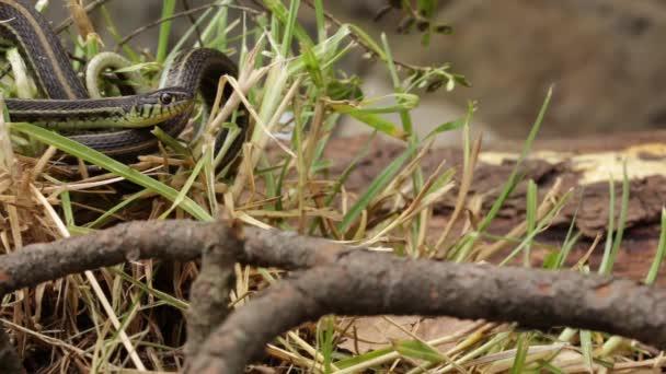 Podvazkový had (Thamnophis spp.) na hlídání po kořisti