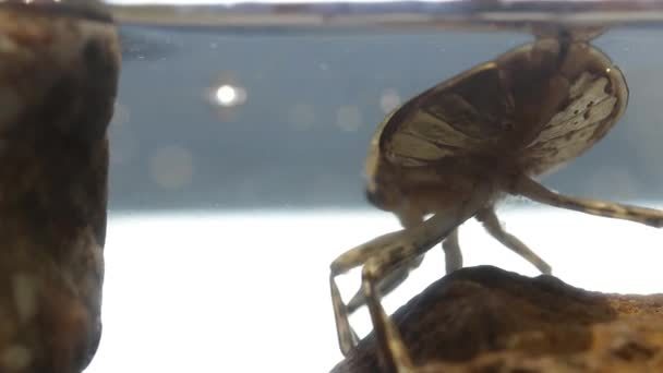 Close up of giant water bug abdomen while  breathing through the water meniscus