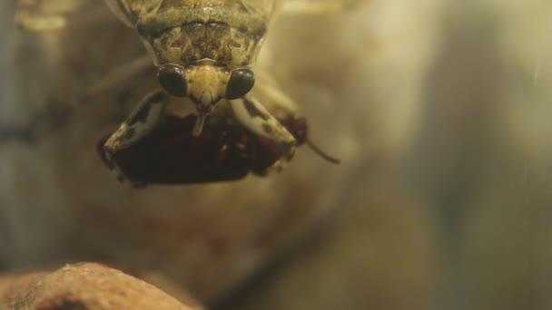 Giant water bug handling a tenebrio beetle with its forelegs