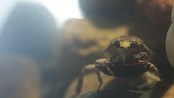 Water bug eating a mealworm beetle, underwater footage