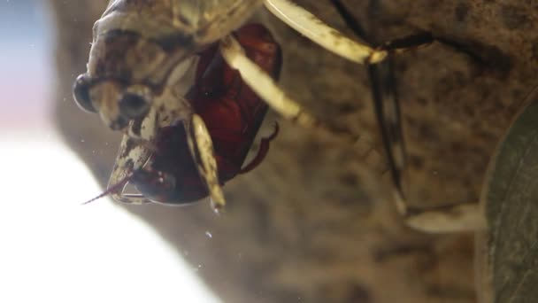 Close up of Giant water bug eating mealworm beetle