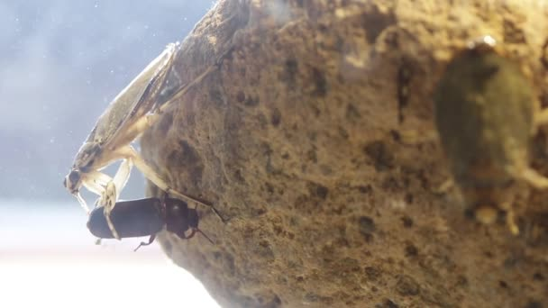 Giant water bug juvenile eating mealworm beetle