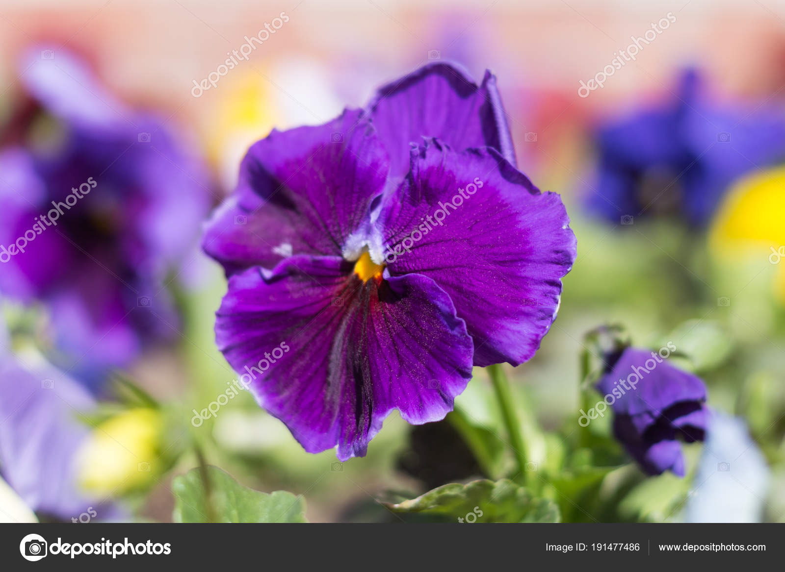 Pansy plant with blue flower stock photo amradul 191477486 pansy plant with blue flower stock photo izmirmasajfo