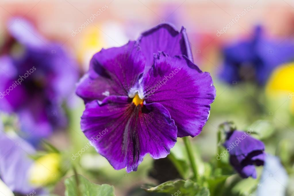 Pansy plant with blue flower