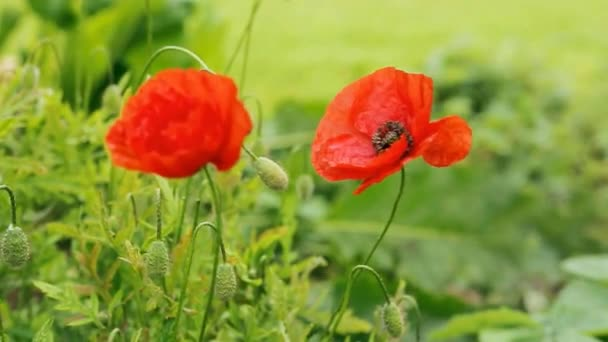 Two red poppies isolated on gray background.