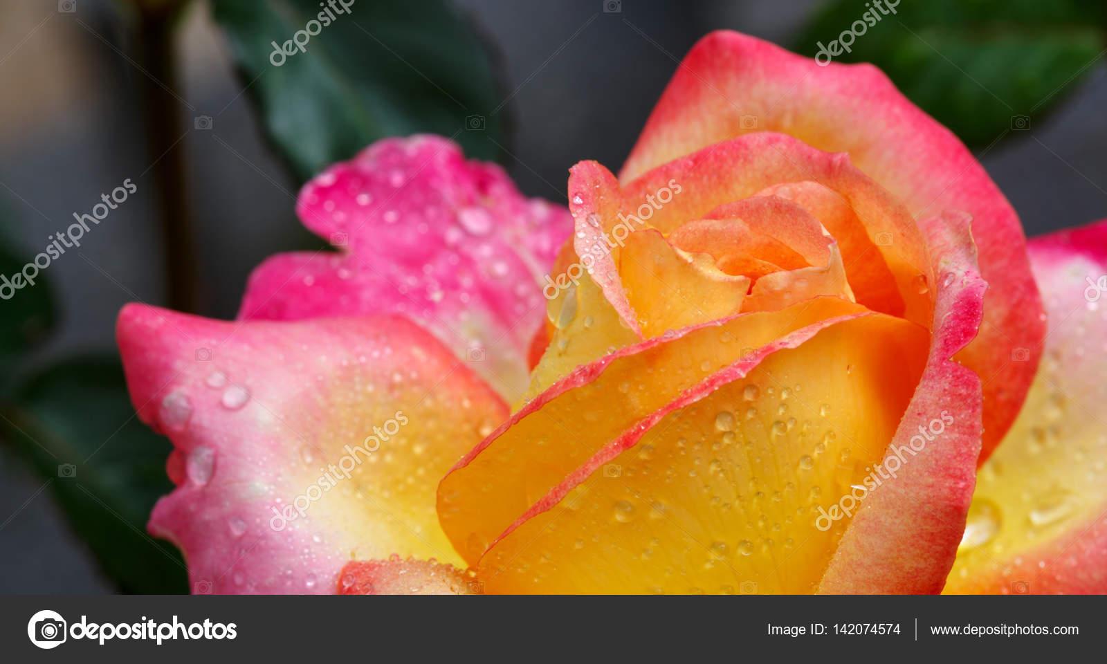 75ebc1037c Sárga, rózsaszín edge Nemes Rózsa. Makro lövés — Stock Fotó ...