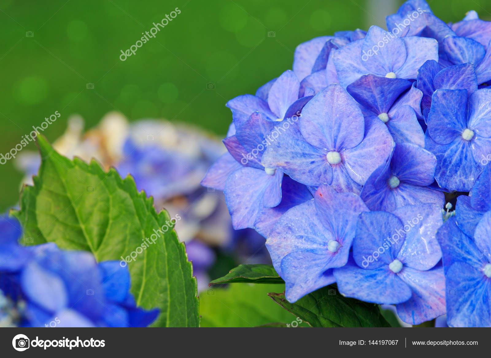 Blaue Hortensie Blumen wachsen im Garten, Blumen Hintergrund ...