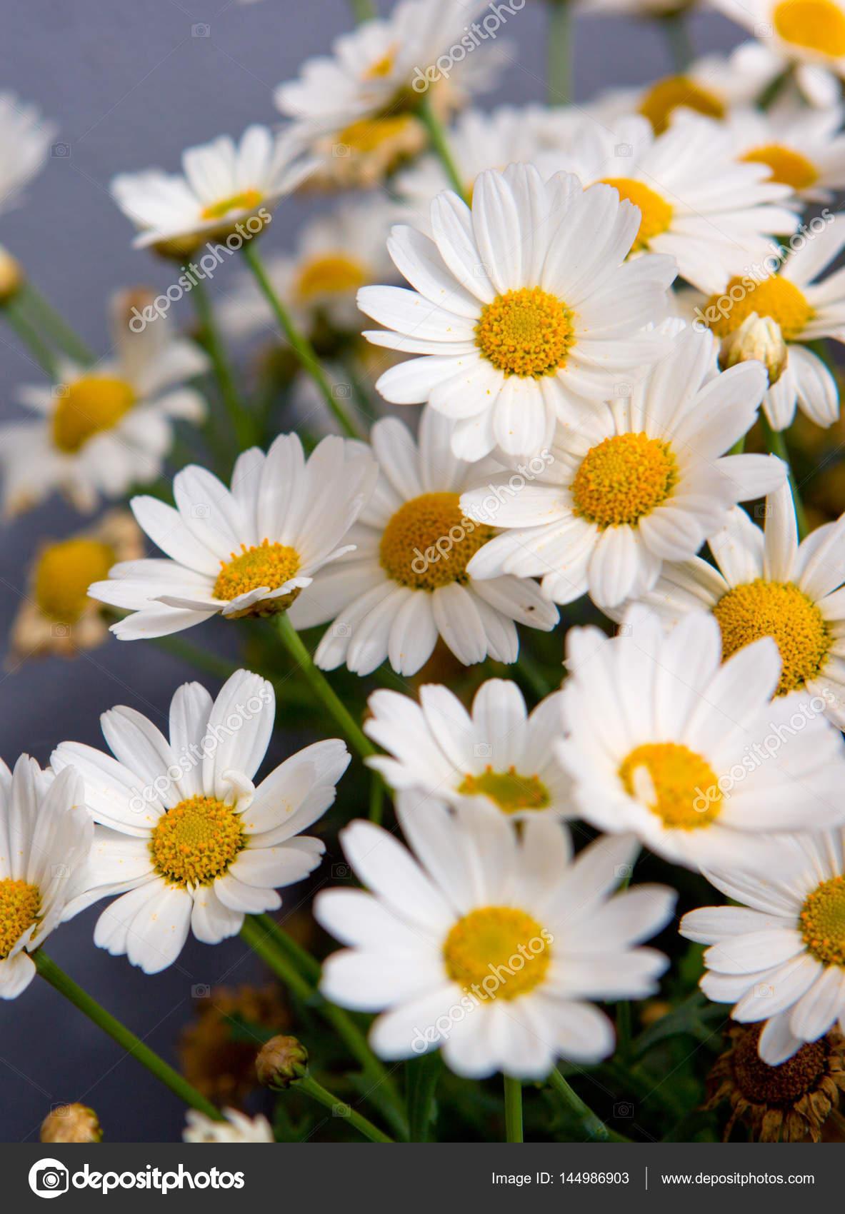 White daisies flowers in bright sun light stock photo swkunst daisy flowers backgroundcro of beautiful white daisies flowers isolated on gray background photo by swkunst izmirmasajfo