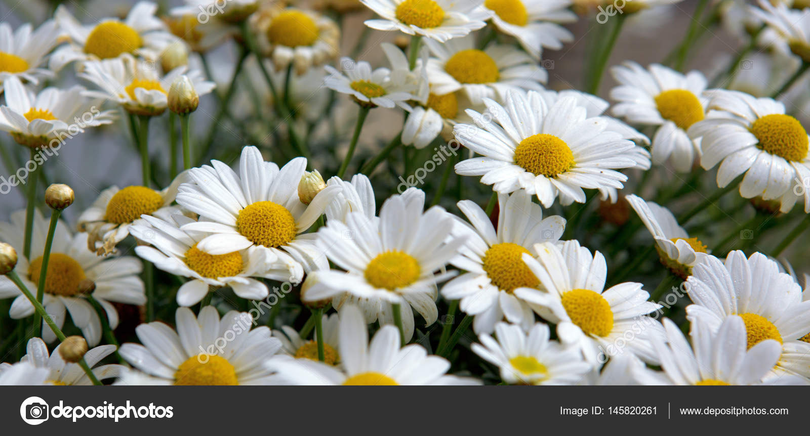Macro of beautiful white daisies flowers stock photo swkunst daisy flowers backgroundcro of beautiful white daisies flowers photo by swkunst izmirmasajfo