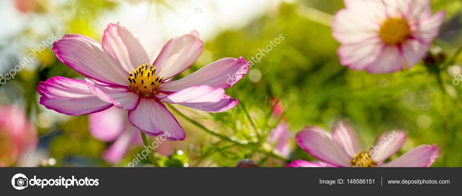 Macro Shot Of White Cosmos Flowers Stock Photo Swkunst 148586151