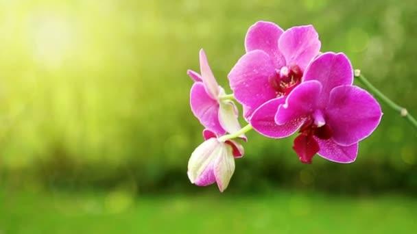 Rózsaszín orchidea egy zöld háttér ága.