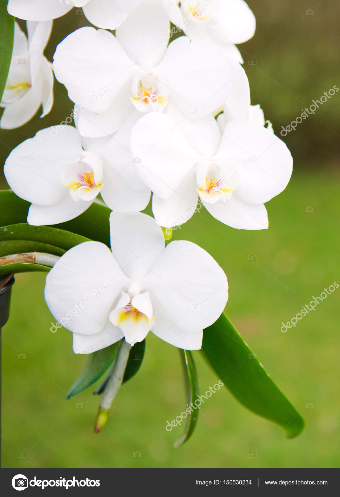 White Orchid Flowers In The Garden Stock Photo Swkunst 150530234