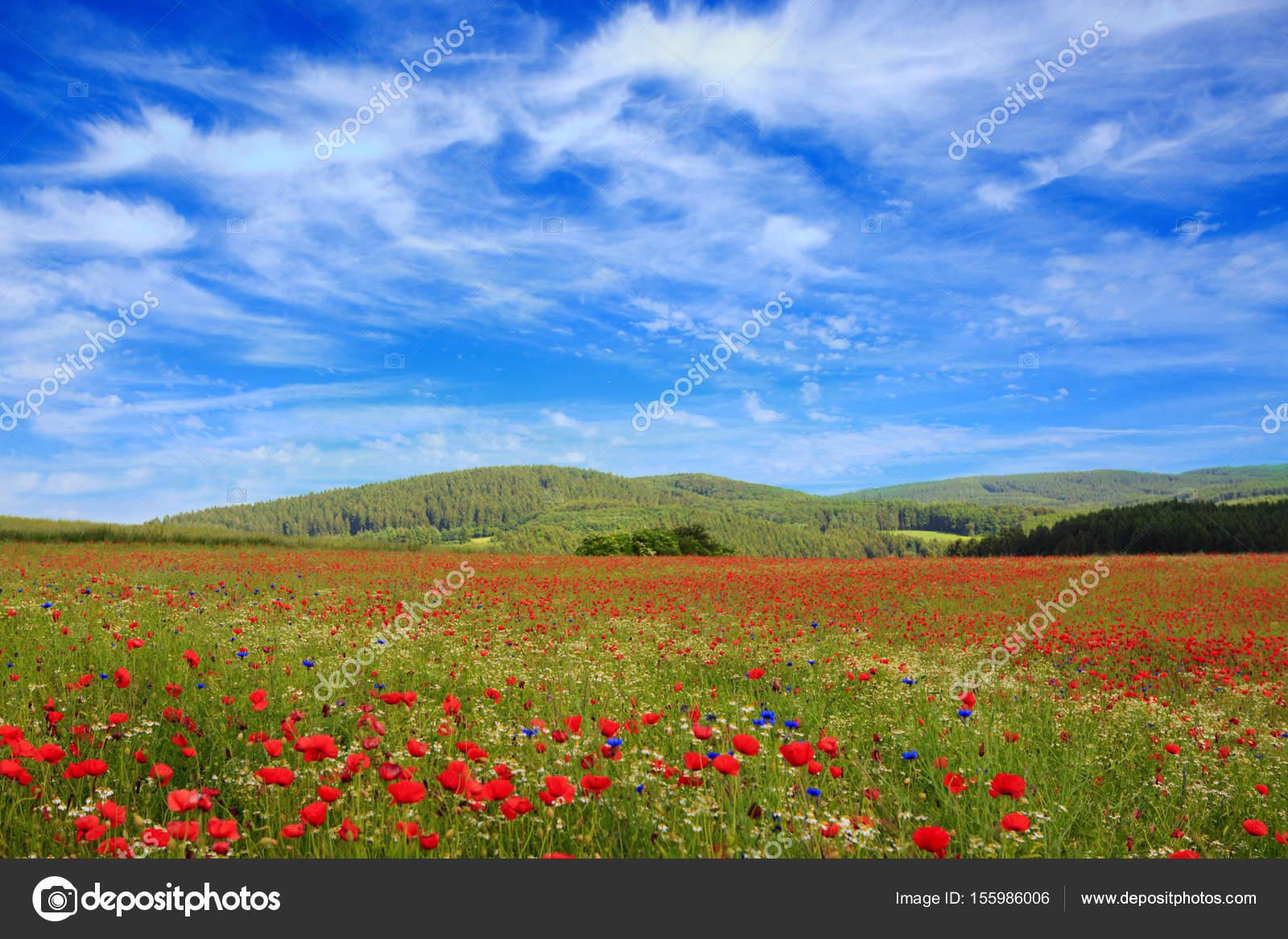 Wild Poppy Flowers On Blue Sky Background Stock Photo Swkunst