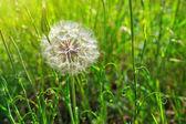 Fotografie Jarní květy pampelišky v zelené trávě.