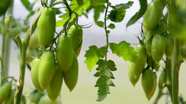 closeup zelené nezralá rajčata ve skleníku