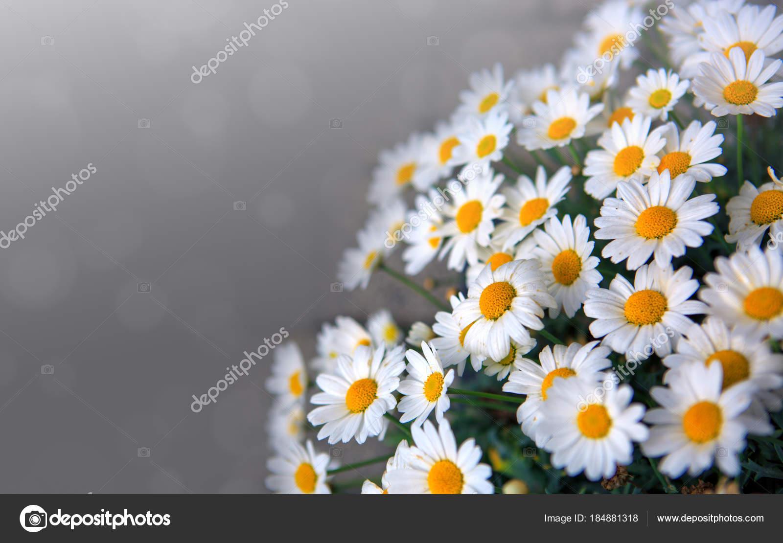 White Daisies Flowers In Bright Sun Light Stock Photo Swkunst