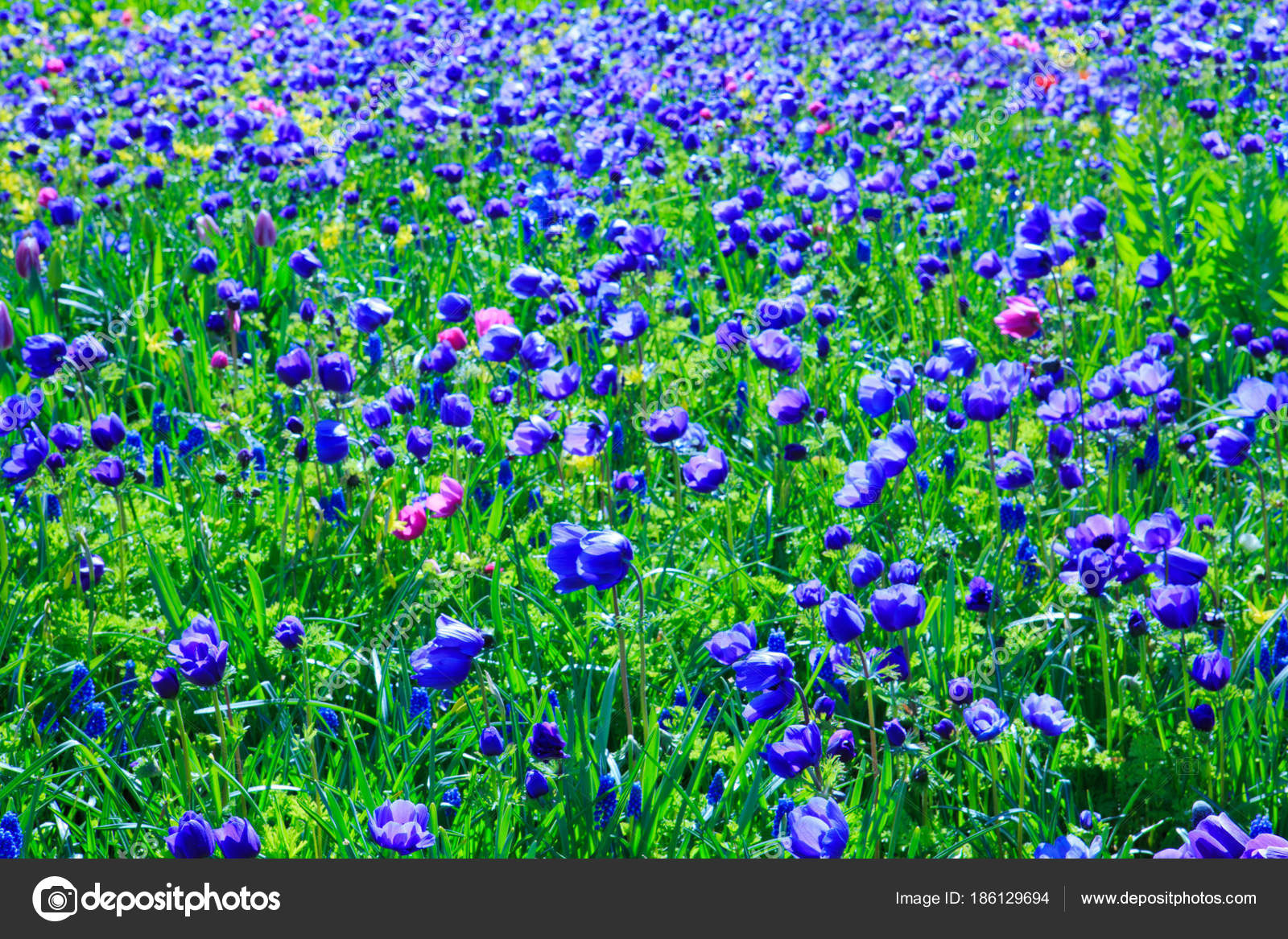 Blue Poppy Flowers Backround Stock Photo Swkunst 186129694