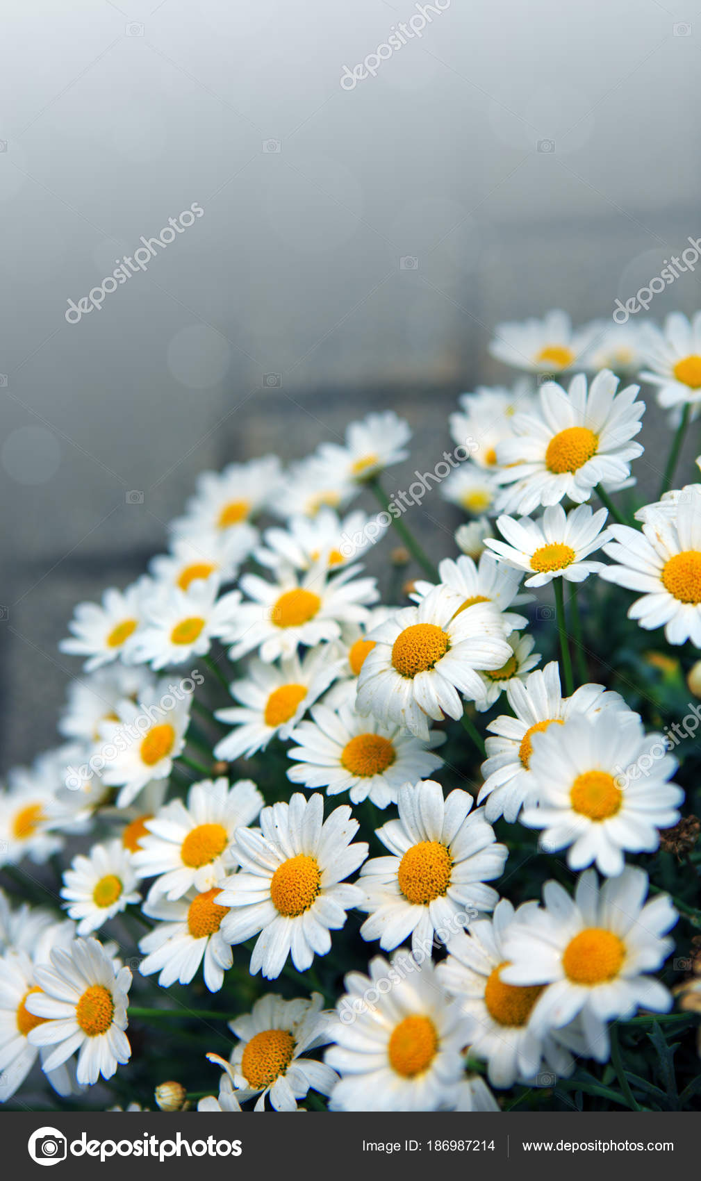 White daisies flowers in bright sun light stock photo swkunst daisy flowers backgroundcro of beautiful white daisies flowers isolated on gray background photo by swkunst izmirmasajfo