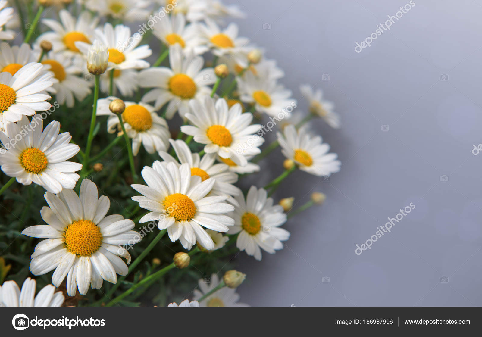 White Daisies Flowers In Bright Sun Light Stock Photo Swkunst
