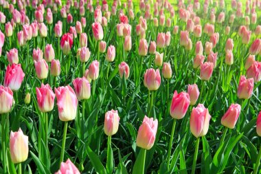 White and pink tulips background.