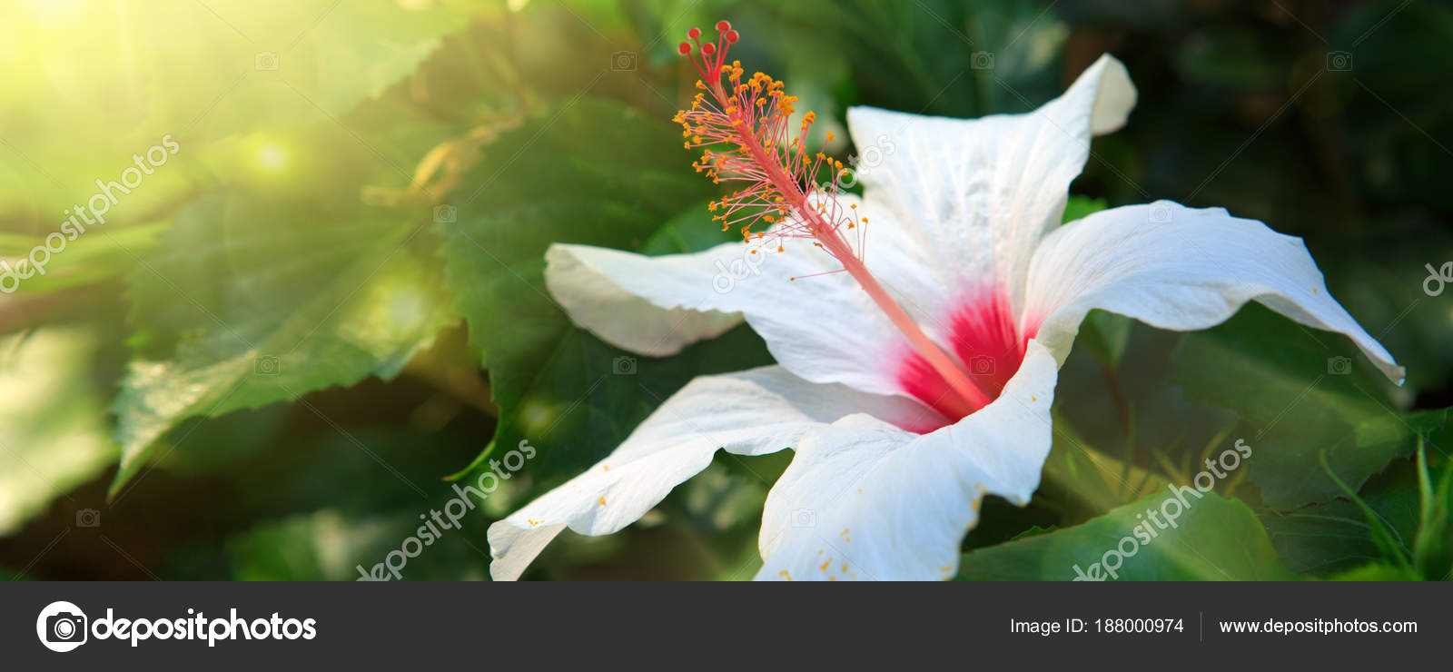 White Hibiscus Flower Isolated On Green Background Stock Photo