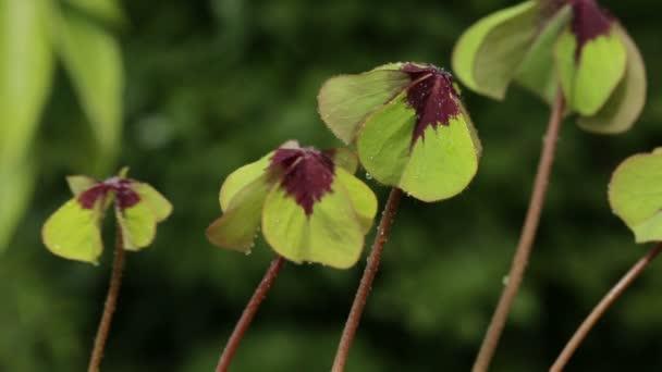 Čtyři listy jetele izolované na zeleném pozadí.