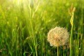 Jarní květy pampelišky v zelené trávě