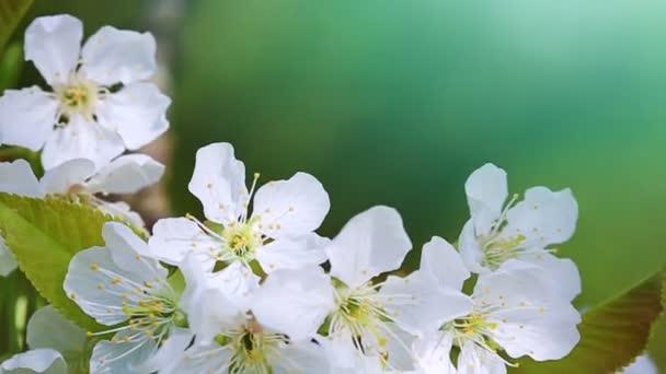 kvetoucí třešeň izolované na zeleném jarním pozadí.