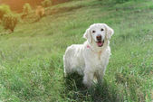 Cheerful adult Labrador having fun on grassland