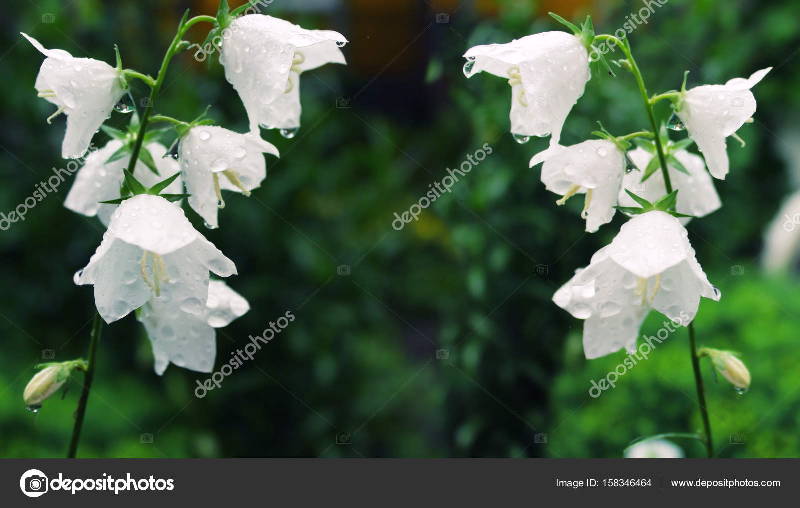 Campanelle Bianche Fiori.White Flowers Bluebells After Rain On The Green Stock Photo