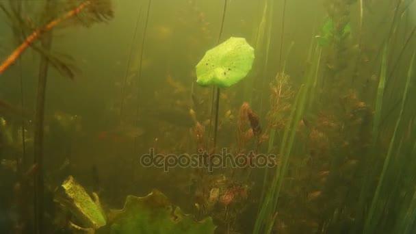 sladkovodní ryby pod vodou