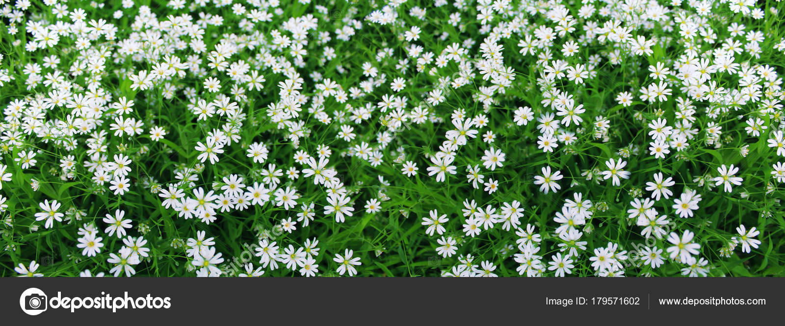Flores Blancas Silvestres Imagen Panoramica Flores Silvestres