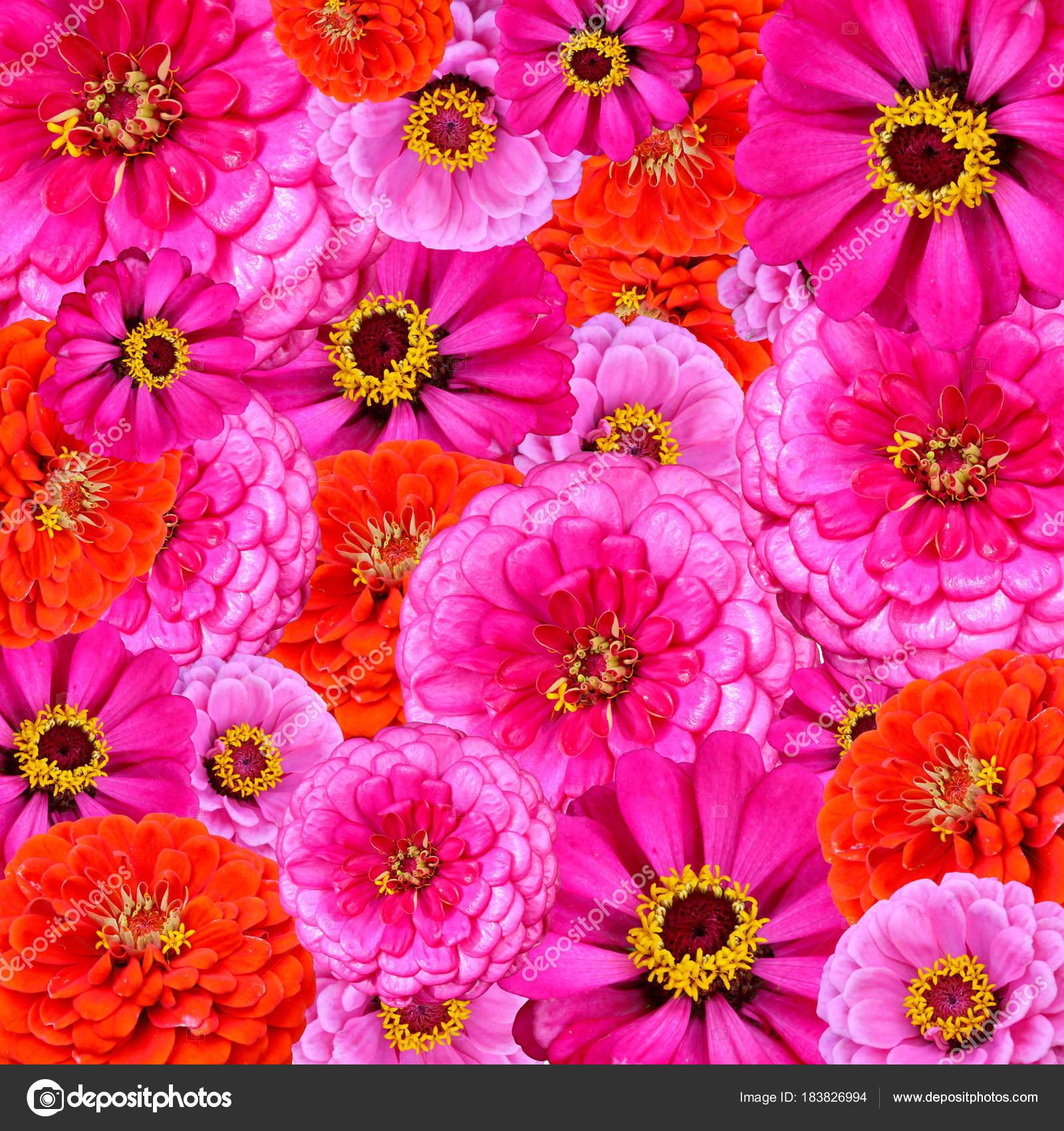 Leuchtend Rote Rosa Und Lila Gartenblumen Als Hintergrundbild