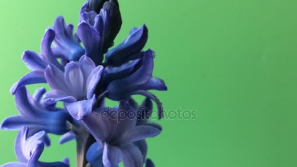 Purple flower Hyacinth on table. Green background