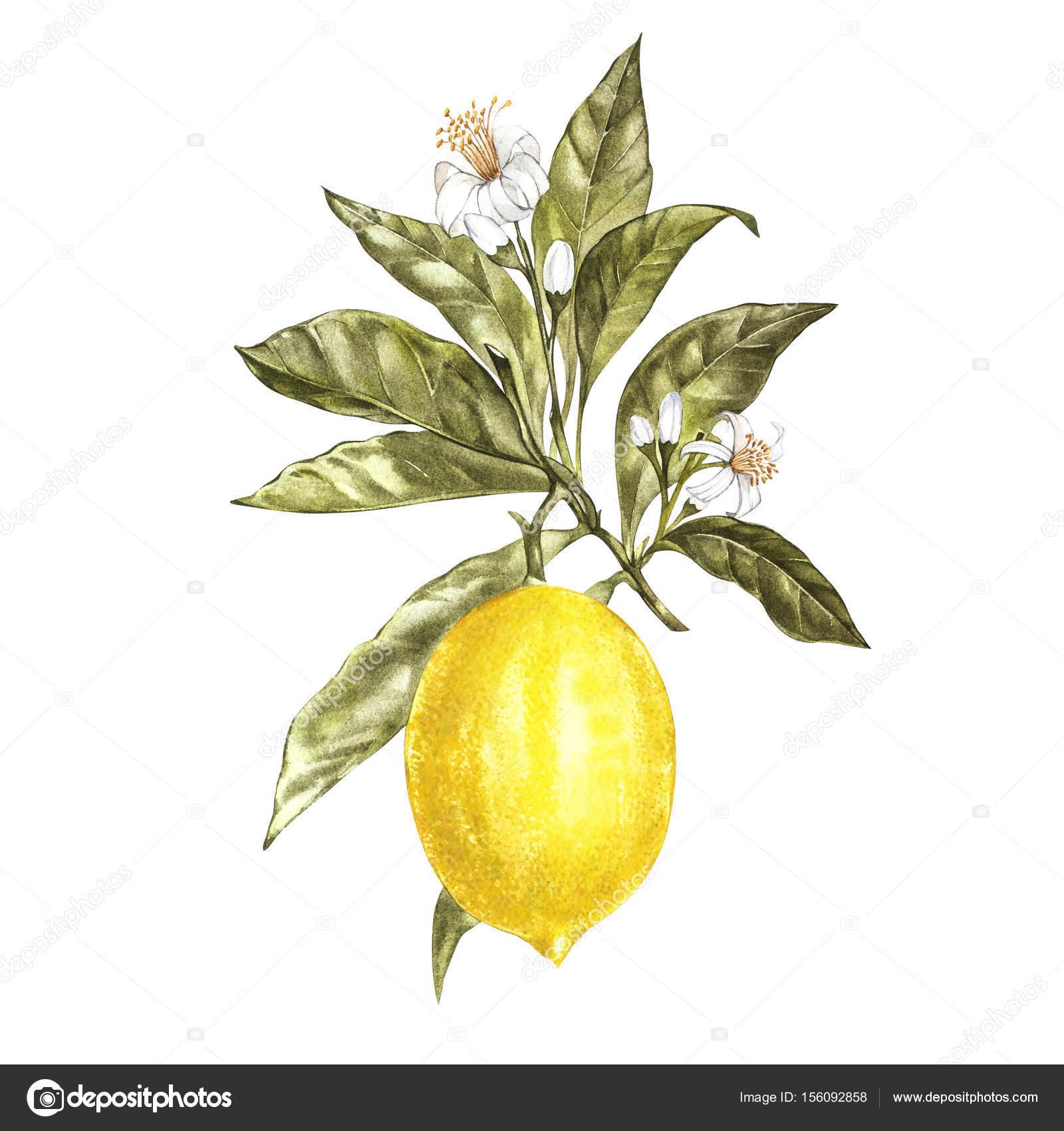 the lemon tree pdf download