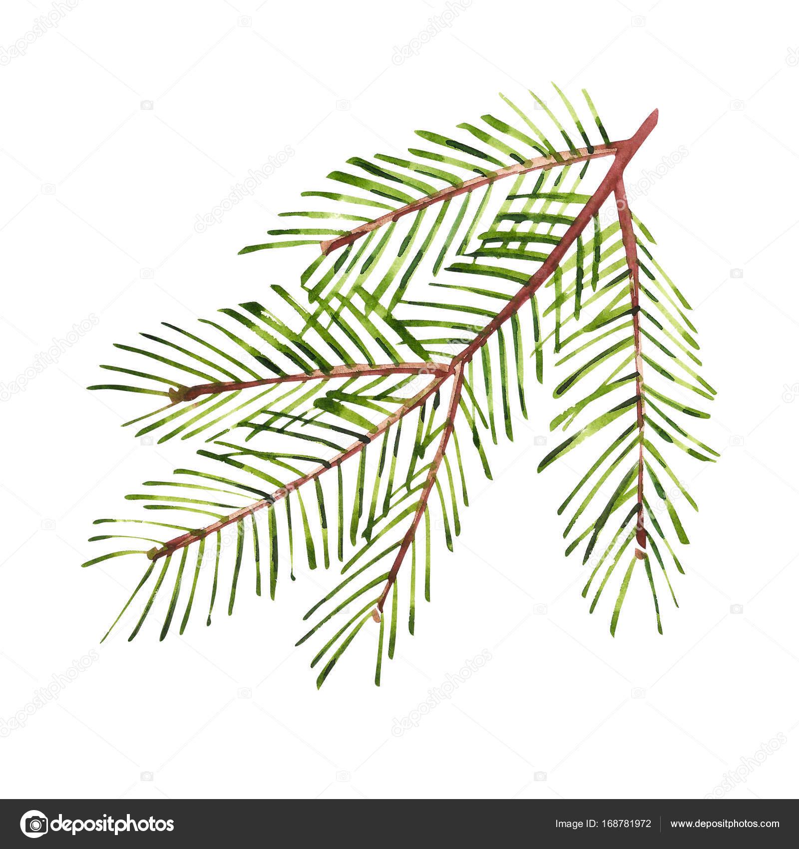 Ramas de árbol de Navidad de acuarela. Pintado a mano de textura con ...