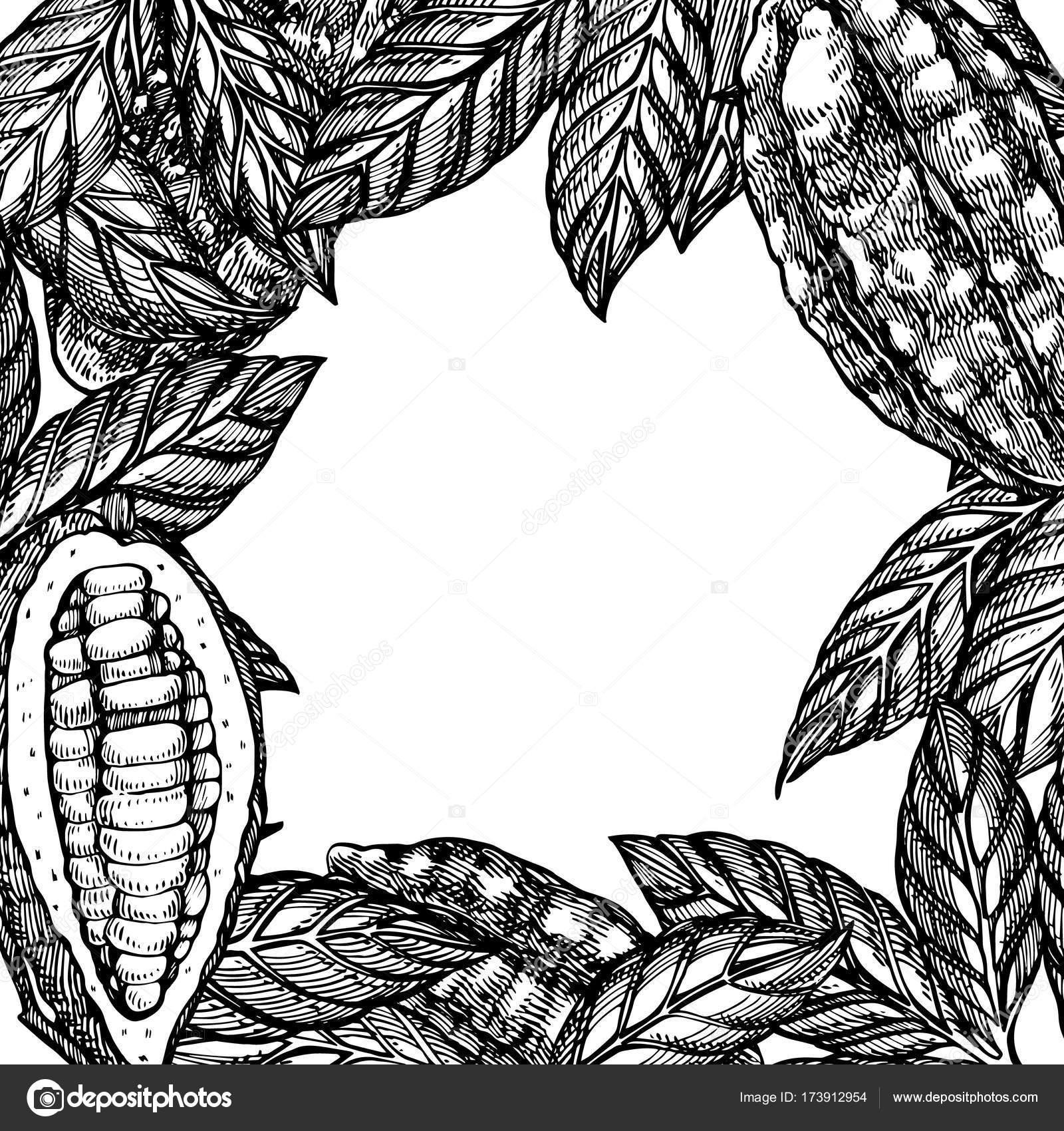 Granos de cacao vector ilustración. Grabado dibujo botánico plantas ...