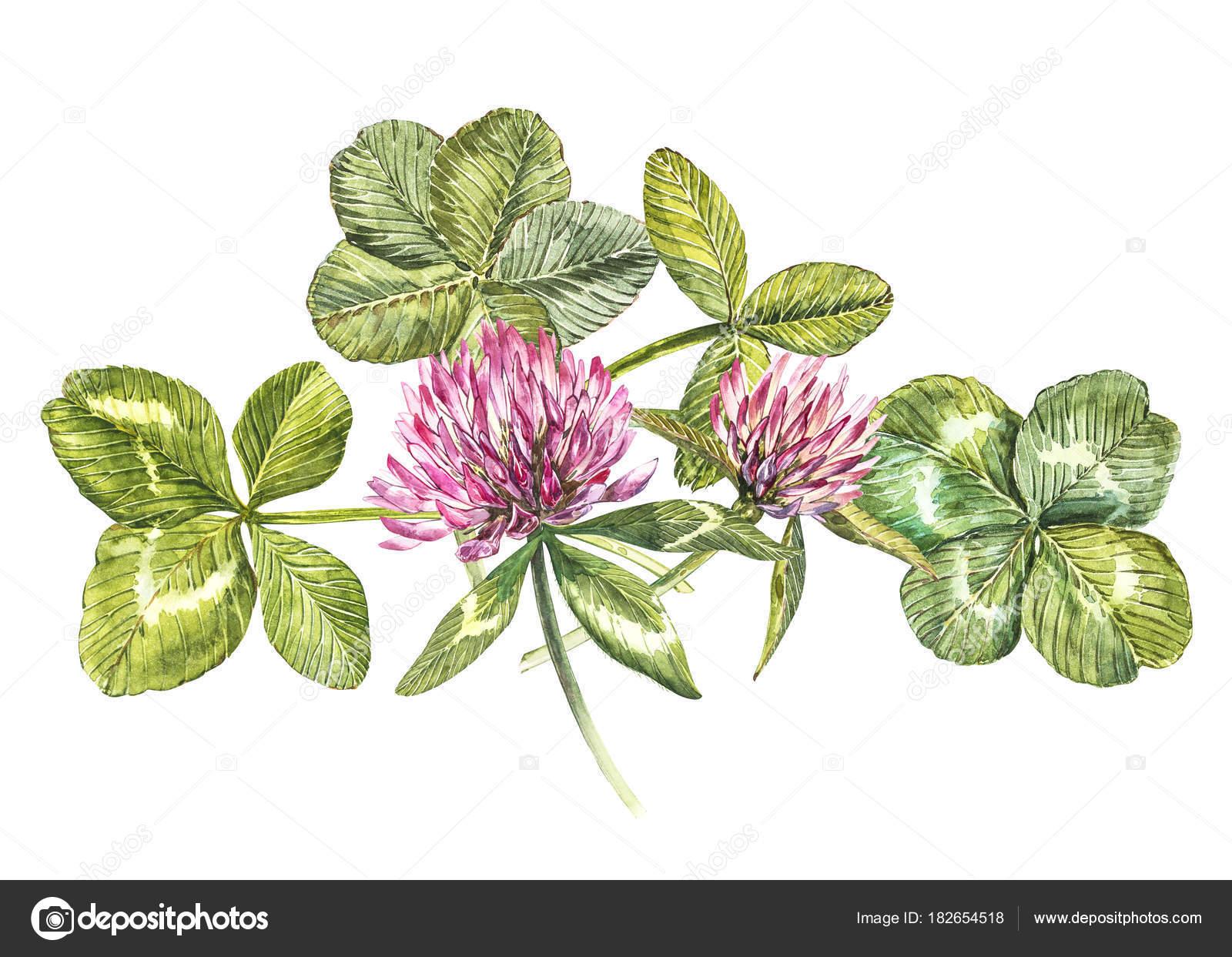 Una composizione di fiori di trifoglio rosso e foglie un - Immagini di quadrifoglio a quattro foglie ...