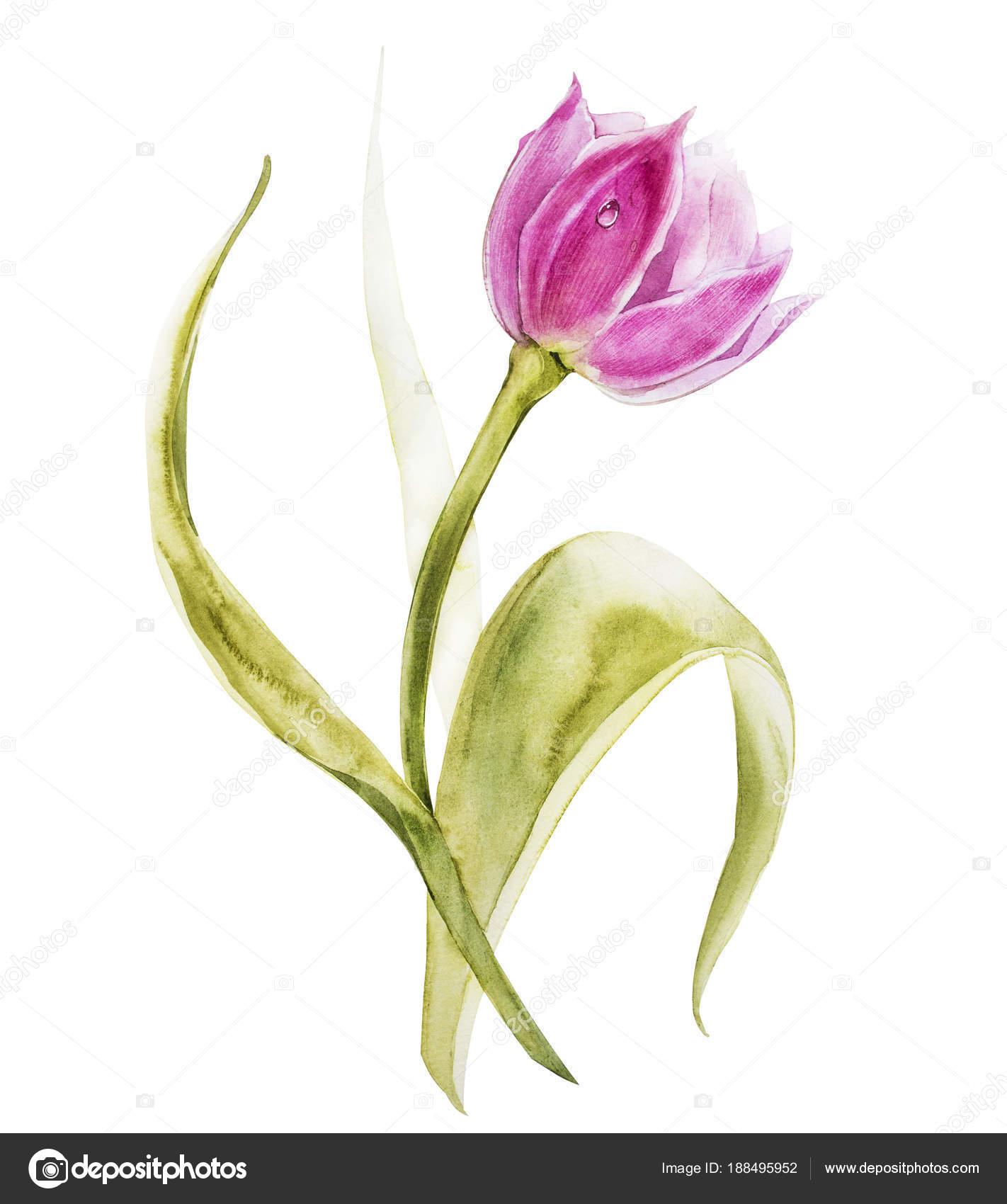 Sulu Boya Lale çiçek Bahar Ya Da Yaz Dekorasyon çiçek Botanik