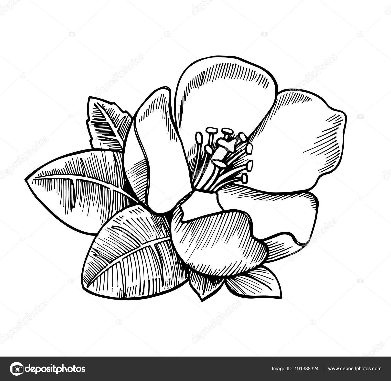 Dibujos Flores Realistas Dibujo Realista Flor Con Hojas Mano